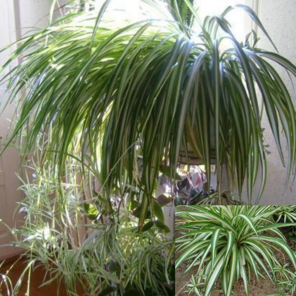 Top 10 plante care purifică aerul: Chlorophytum comosum sau Planta-păianjen