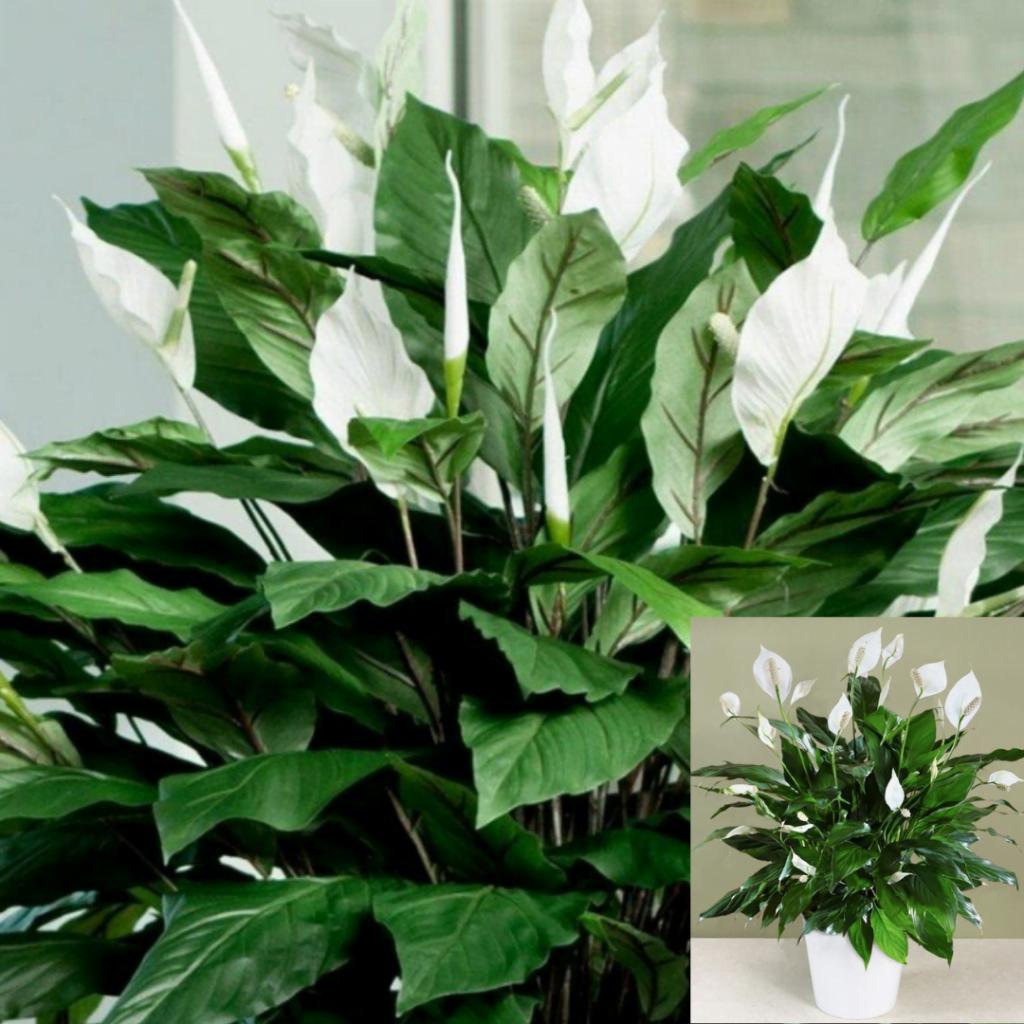 Top 10 plante care purifică aerul: Spathiphyllum sau Crinul păcii