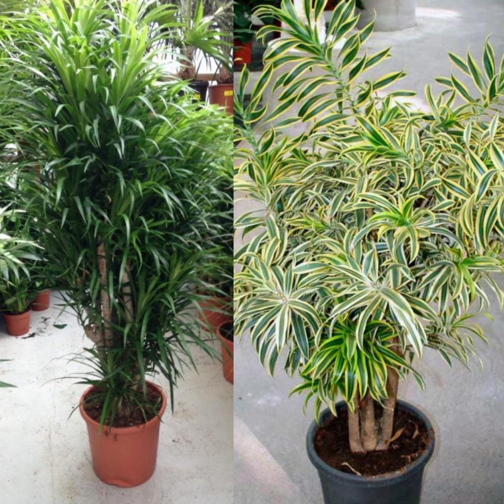 Top 10 plante care purifică aerul: dracaena reflexa, dracaena deremensis