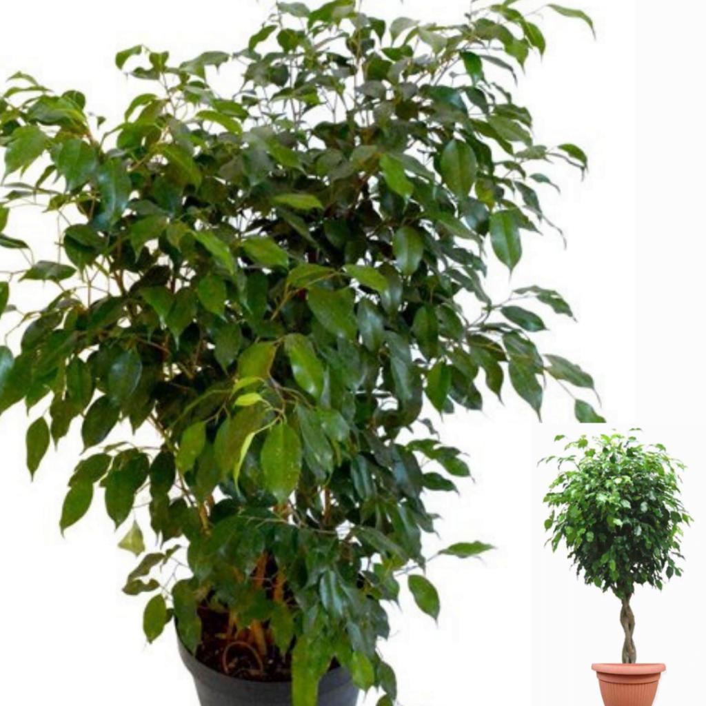 Top 10 plante care purifică aerul: Ficus benjamina