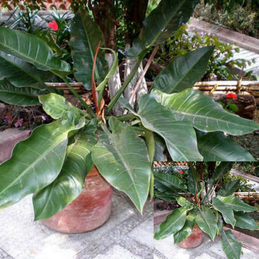 Top 10 plante care purifică aerul: Philodendron hastatum