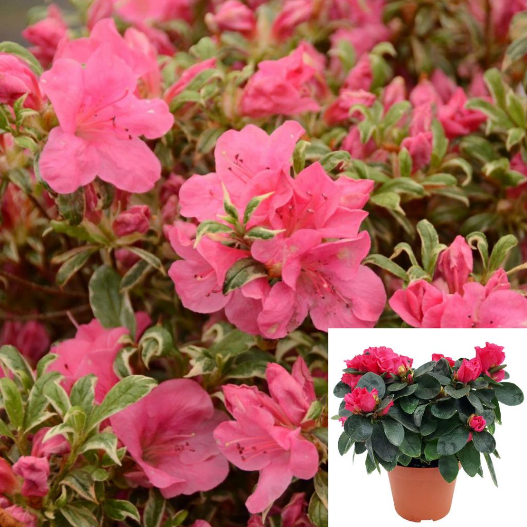 Top 10 plante care purifica aerul: azaleea
