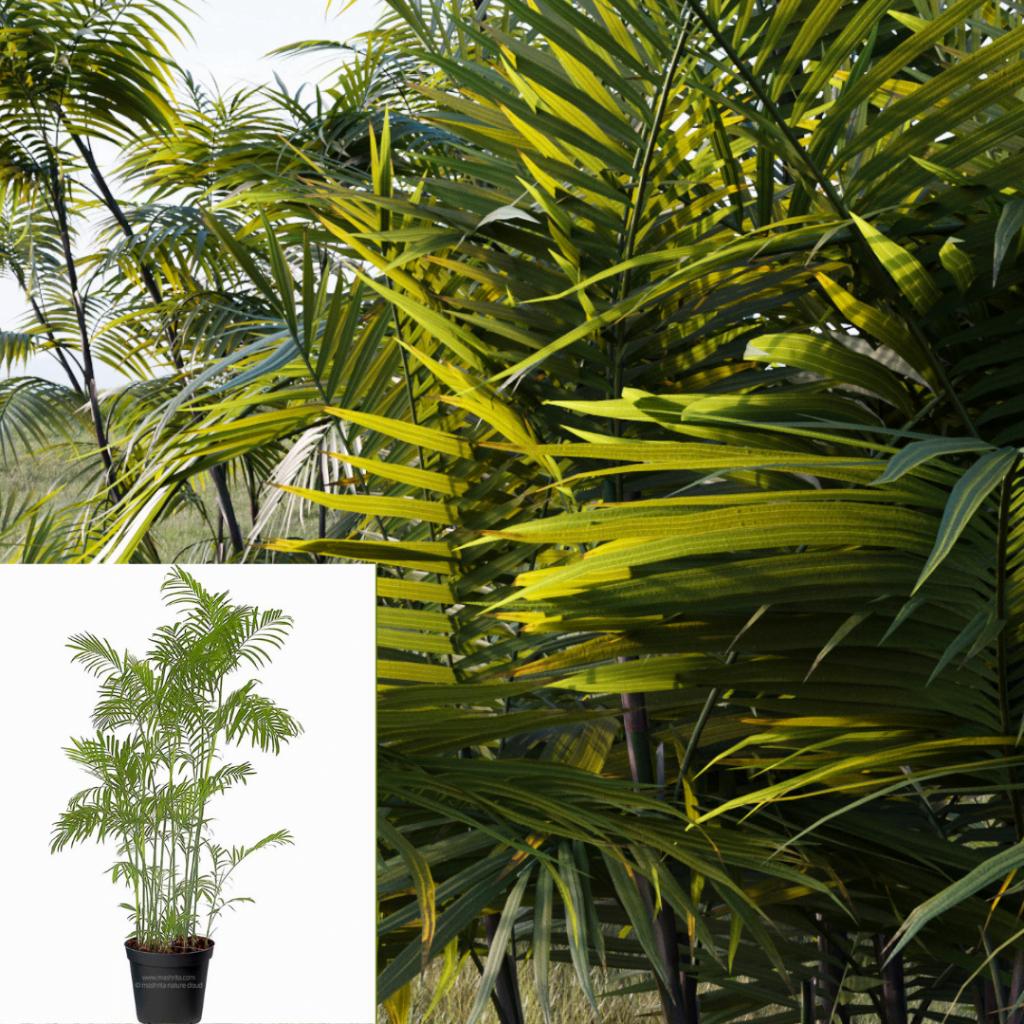 Top 10 plante care purifică aerul: Chamaedorea sefritzii