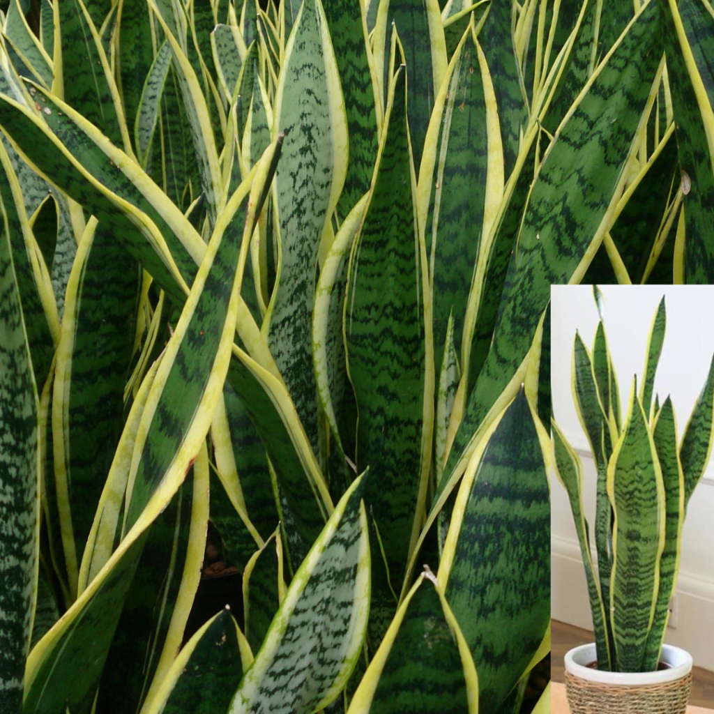 Top 10 plante care purifică aerul: Sansevieria trifasciata sau Limba-soacrei