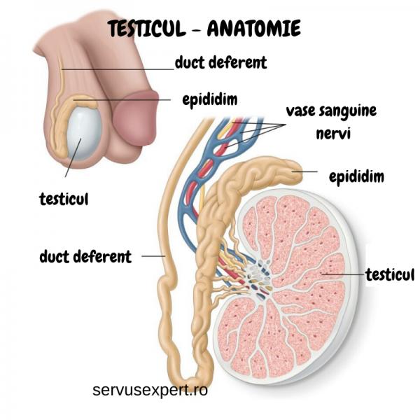 testicul anatomie