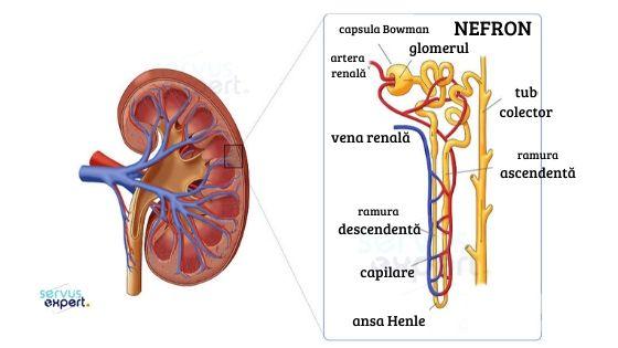 sistem excretor (aparat urinar): anatomie