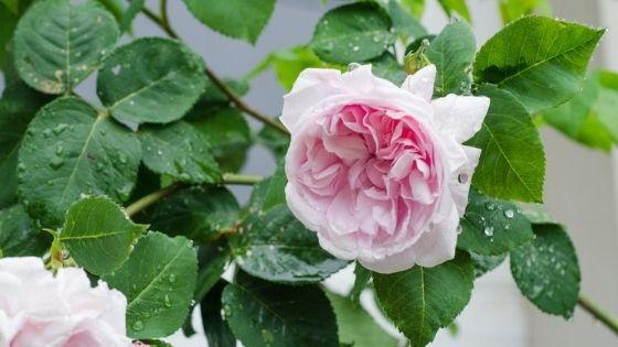 trandafiri de grădină: centifolia sau provence