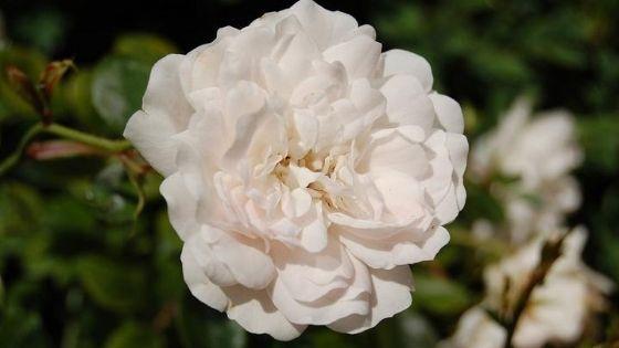 trandafiri de grădină: alba