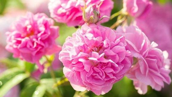trandafiri de grădină: rosa damascena