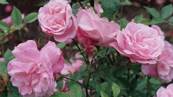 trandafiri de grădină: Rosa chinensis
