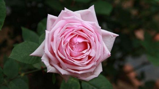 trandafiri de grădină Tea Hybrid