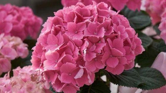 hortensii ( hydrangea): H.macrophilla