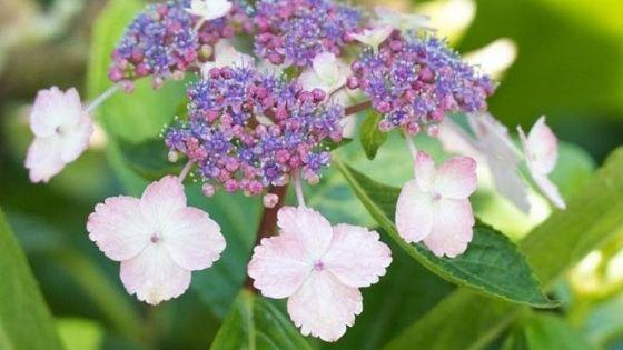 Hortensii ( hydrangea ): H. serrata