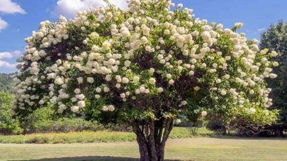 hortensii ( hydrangea ): H. grandiflora