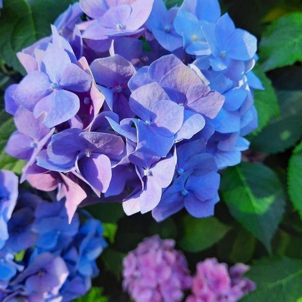 HORTENSII ( Hydrangea ): ce varietăți sunt, plantare și îngrijire