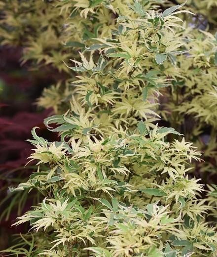 plante de umbra - Acer palmatum Butterfly