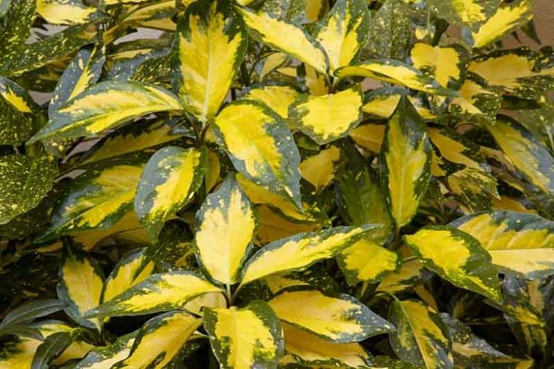 plante de umbra - Aucuba japonica Picturata