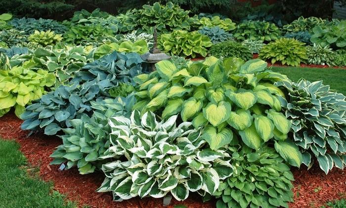 plante de umbra - Hosta
