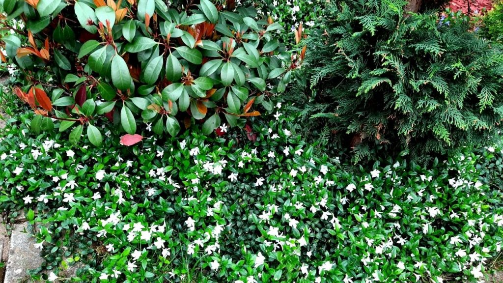 5 plante de umbra Vinca alba