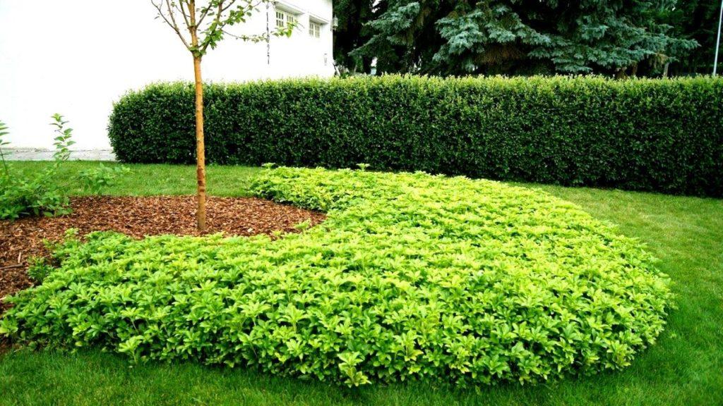 5 plante de umbra Pachysandra terminalis