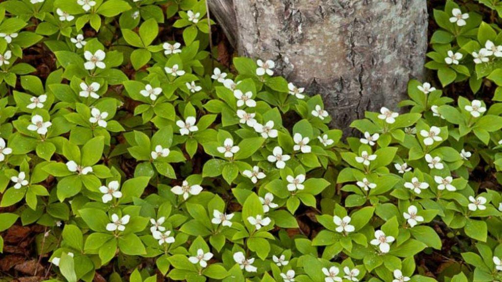 5 plante de umbra Cornus canadensis